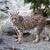 рысь · рысь · север · американский · млекопитающее · кошки - Сток-фото © sframe