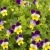 field of colorful spring flowers pansies and clover stock photo © sherjaca