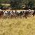 avustralya · kırsal · sahne · sığır · eti · sığırlar · inek · renk - stok fotoğraf © sherjaca