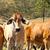群れ · 牛 · オーストラリア人 · 牛 · 駅 · 牛肉 - ストックフォト © sherjaca