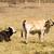 vee · twee · koeien · boerderij · hoofd · witte - stockfoto © sherjaca