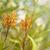 australian flora grevillea orange marmalade stock photo © sherjaca