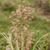 australian native grass plant lomandra multiflora matrush stock photo © sherjaca