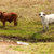 kahverengi · beyaz · inekler · ücretsiz · dere - stok fotoğraf © sherjaca