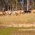 kudde · koeien · australisch · vee · station · rundvlees - stockfoto © sherjaca