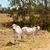 twee · grijs · koeien · vee · boerderij · gratis - stockfoto © sherjaca