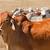 rebanho · vacas · australiano · gado · estação · carne - foto stock © sherjaca
