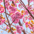 blooming double cherry blossom tree and blue sky stock photo © shihina