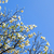 White flowering dogwood tree (Cornus florida) in bloom in blue sky stock photo © shihina