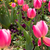 Red and pink tulips in the garden stock photo © shihina