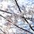 yoshino cherry blossom in full bloom stock photo © shihina