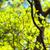Bright leaves and branches of dogwood (Cornus florida) stock photo © shihina