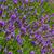 levendula · virágok · mező · virág · tájkép · zöld - stock fotó © shihina
