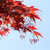 Red maple leaves against the blue sky stock photo © shihina