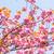 virágzó · dupla · cseresznyevirág · égbolt · virág · tavasz - stock fotó © shihina