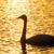 fehér · hattyú · úszik · víz · háttér · madár - stock fotó © shihina