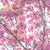 Blooming double cherry blossom tree and sun light stock photo © shihina