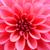 roze · dahlia · witte · cactus · plant - stockfoto © shyshka