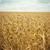 麦畑 · 風景 · 背景 · 夏 · フィールド · ファーム - ストックフォト © Silanti