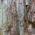 closeup of colourful bark of a paperbark tree stock photo © silkenphotography
