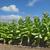 dohány · levelek · mező · nagy · zöld · levelek · trópusi - stock fotó © simazoran