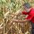 agricultural scene farmer or agronomist inspect damaged corn fi stock photo © simazoran