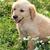 perro · golden · retriever · jugando · parque · verano · ejecutando - foto stock © simazoran