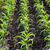 jovem · milho · plantas · úmido · campo - foto stock © simazoran