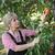 agriculteur · abricot · fruits · verger · Homme - photo stock © simazoran