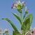 dohány · növény · virágok · virágzó · növények · mező - stock fotó © simazoran