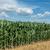 çiftçiler · mısır · alan · mavi · gökyüzü · üretmek - stok fotoğraf © simazoran