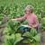 női · gazda · dohány · mező · virágzó · növény - stock fotó © simazoran