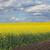 sarı · alan · yağ · tohum · erken - stok fotoğraf © simazoran