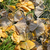 fall frozen ginkgo leaves stock photo © simazoran