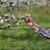 agriculteur · floraison · prune · verger · Homme - photo stock © simazoran