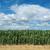 agriculture corn field with beautiful sky stock photo © simazoran