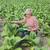 megművelt · dohány · levél · mező · növények · út - stock fotó © simazoran