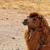 wild bactrian camel stock photo © sirylok