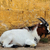 cabra · animal · bonitinho · branco · criança · grama - foto stock © sirylok