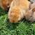 coelho · coelhos · família · doce · casa · primavera - foto stock © sirylok