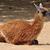 guanaco camelid animal stock photo © sirylok
