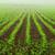 rows of young corn plants stock photo © smileus