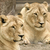 two lions both in sharp focus stock photo © smileus