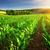 sunlit rows of corn plants stock photo © smileus