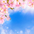 cherry blossoms background stock photo © smileus
