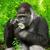 gorila · mirando · cámara · cara · naturaleza · montana - foto stock © smileus