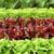marul · çerçeve · taze · yeşil · kırmızı - stok fotoğraf © smileus