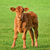 happy calf on a meadow stock photo © smileus