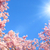 blossoming cherry trees and the sun stock photo © smileus