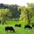 idyllic green landscape with cows grazing stock photo © smileus